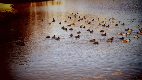 神鳥谷の鴨