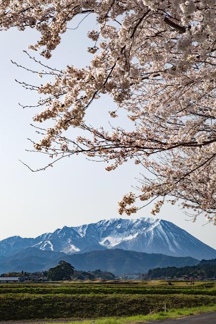 大山 桜 満開 仁王堂公園 大山町 烏天狗