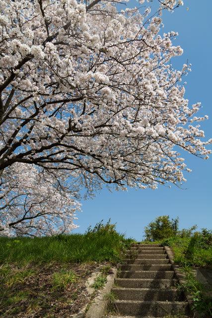 法勝寺 伯太川土手 桜並木