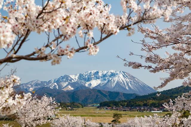 大山町 仁王堂公園 桜