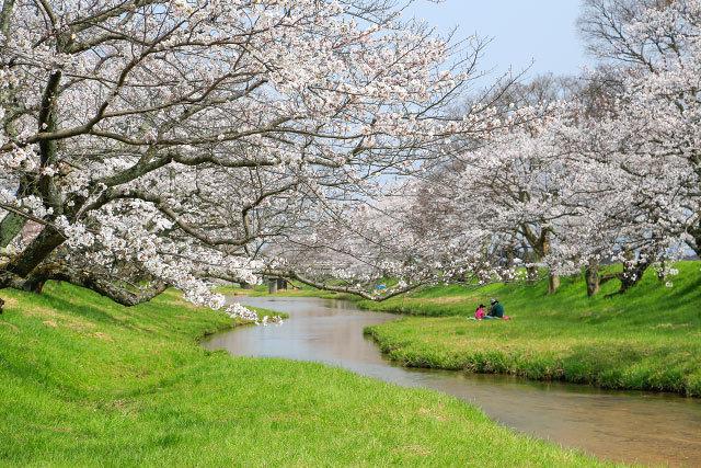 玉湯川堤の桜並木 玉造温泉