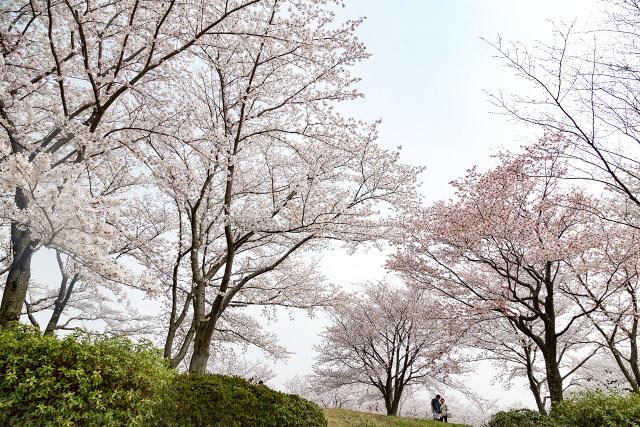 古代出雲王陵の丘 安来市 桜
