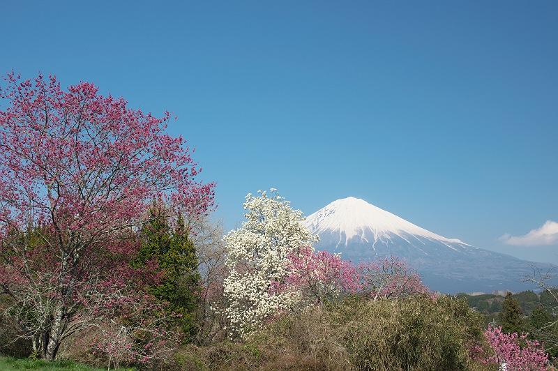 モクレンが咲く柚野の春
