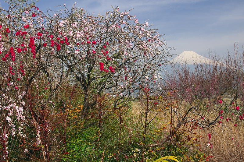 花桃が咲く風景