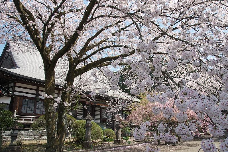 妙蓮寺の桜 2