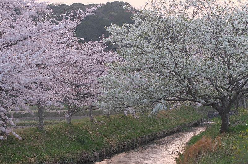 近所の桜風景