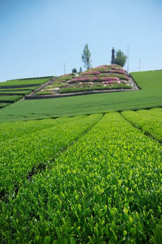 新茶が薫る丘