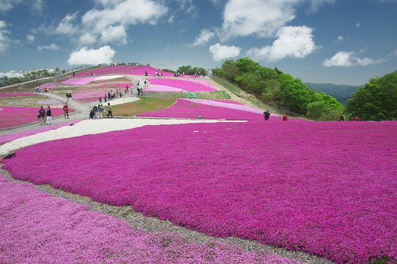 茶臼山の芝桜