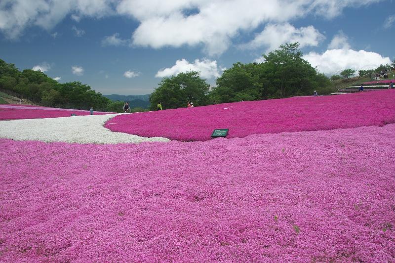 茶臼山の芝桜 2