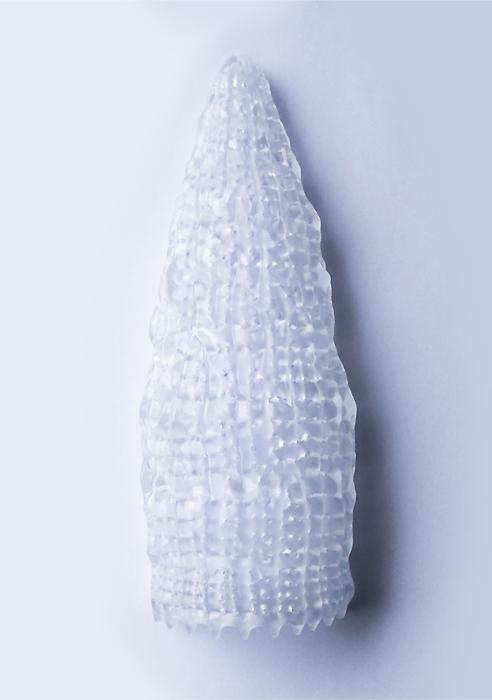 Radiolaria hsuum maxwelli
