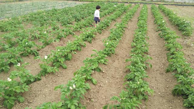植えるのを手伝ってくれたジャガイモの畑の中で走る