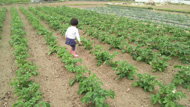 植えるのを手伝ってくれたジャガイモの畑の中で走り回りまわる