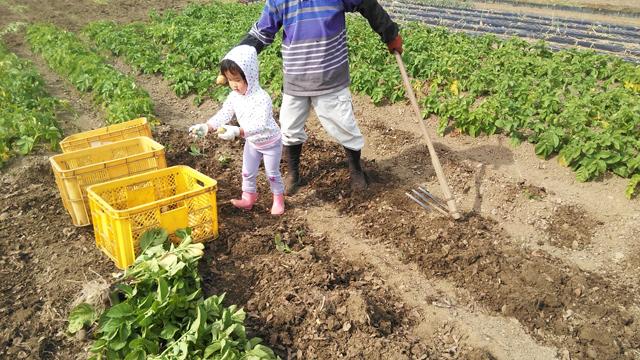 ジャガイモの選別をする子供