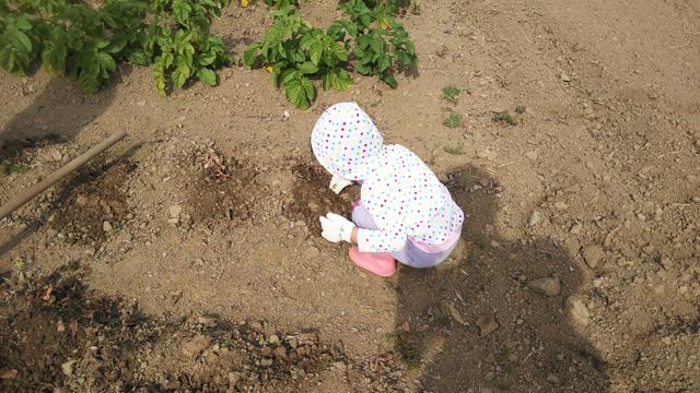 子供がジャガイモを拾う