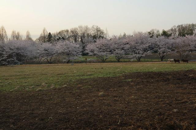 磯沼牧場の桜2018