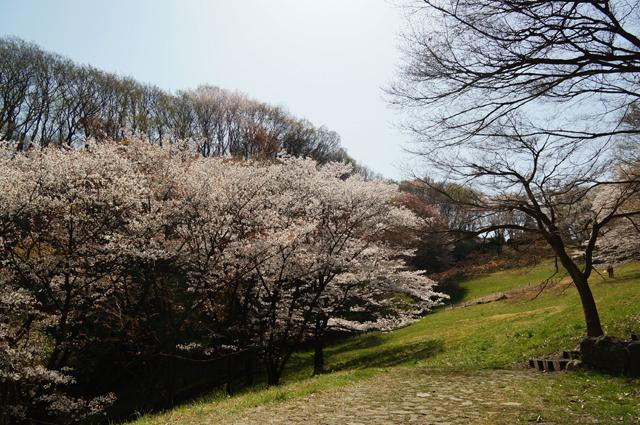 長沼公園 殿ヶ谷の桜