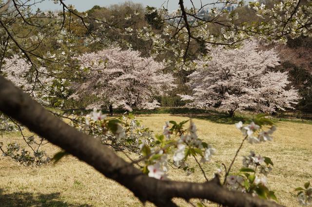 桜の咲く谷を歩く親子