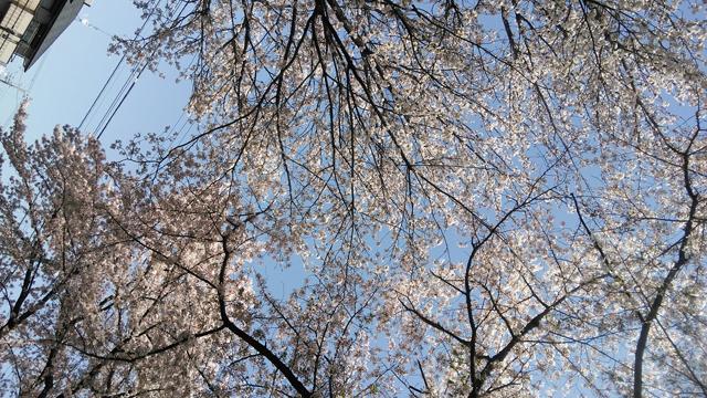 大木島公園の桜