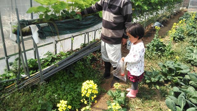 イチゴを収穫
