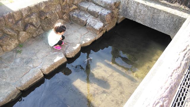 新井用水の鯉を眺める