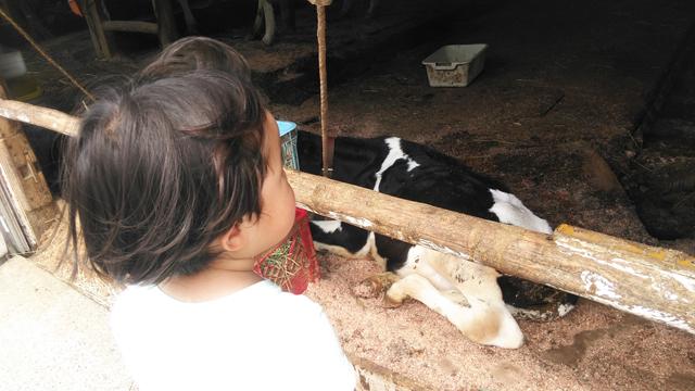 百草ファームの牛を眺める