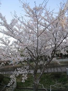 414hiyoriyamasakura.jpg