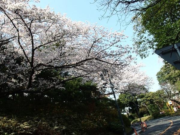 Takanawa_sakura_600.jpg