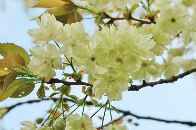 13ウコン桜 (800x533)