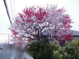 0401sakurapin5.jpg