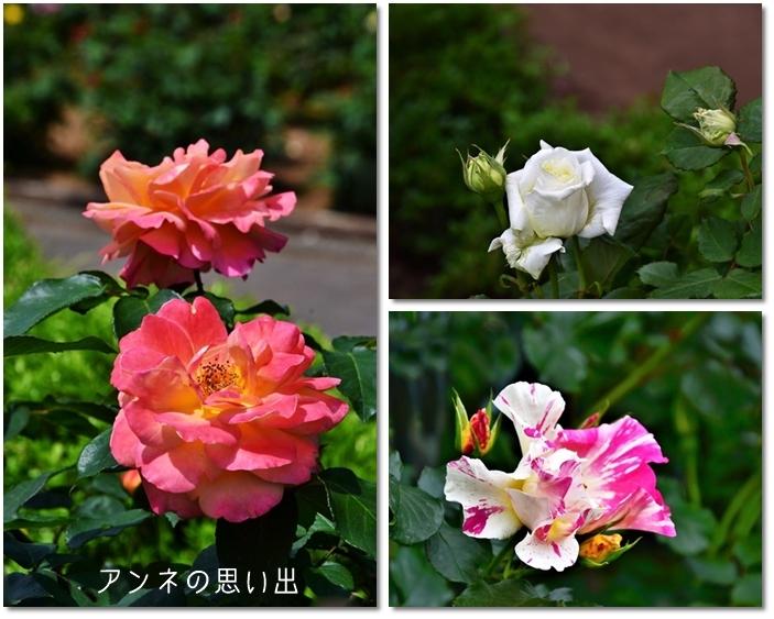 アンネの思い出薔薇2