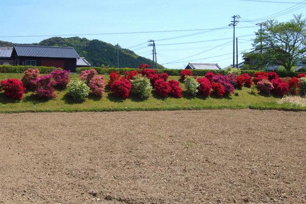長沢川沿いのツツジ