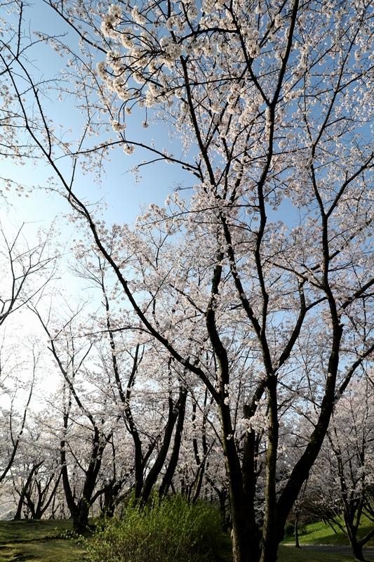 桜3180329