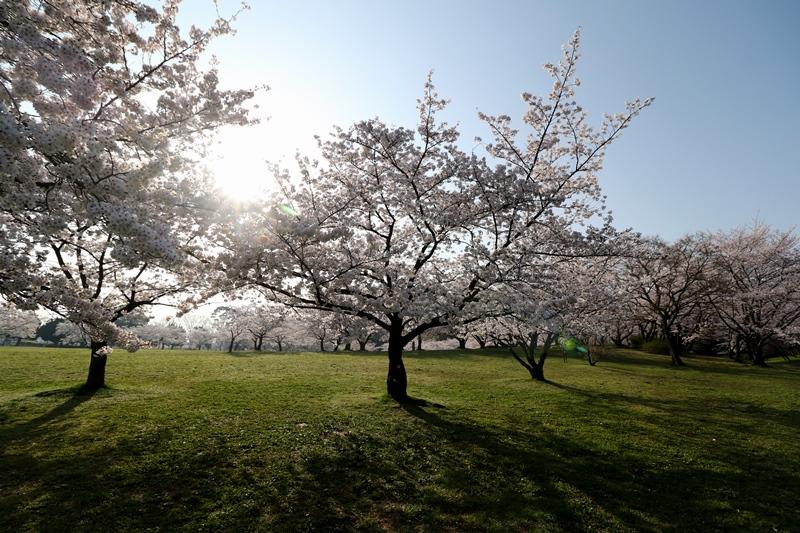 桜4180329