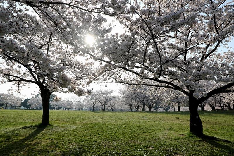 桜5180329