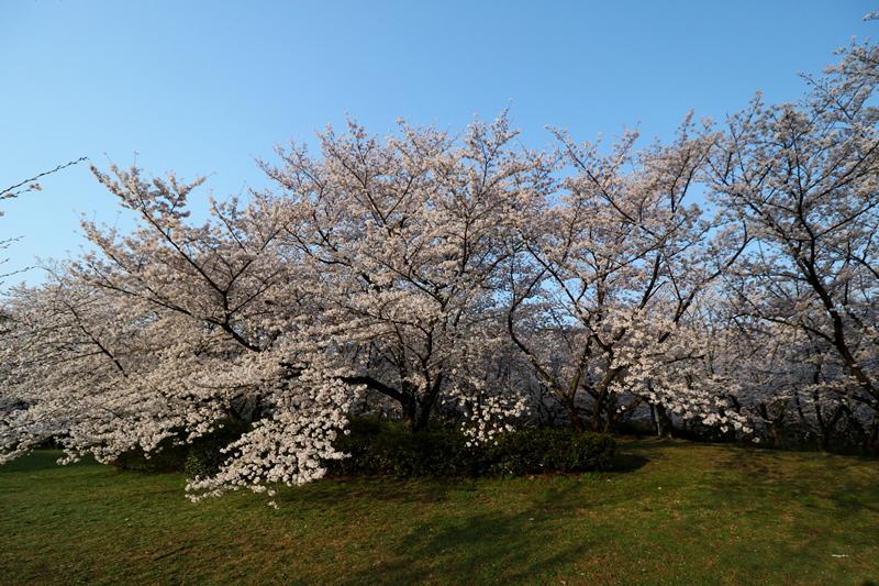 桜6180329