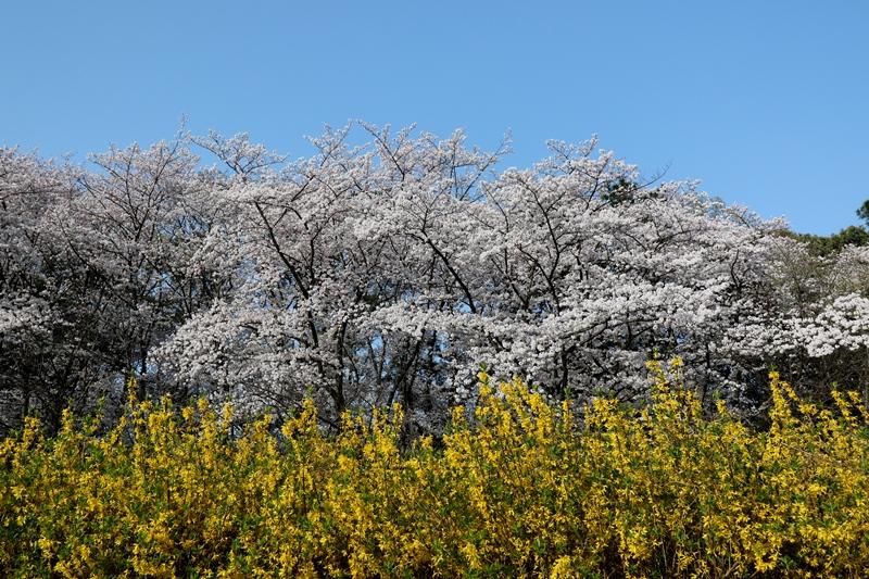 桜7180329