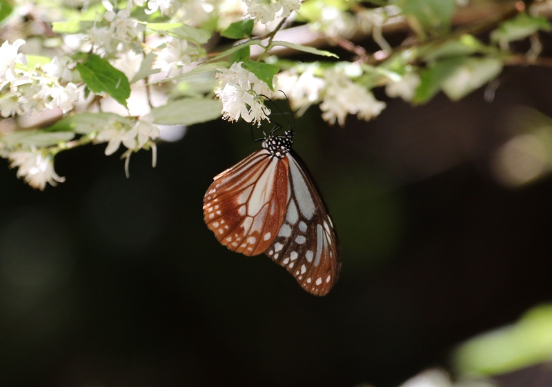 アサギマダラ3180525