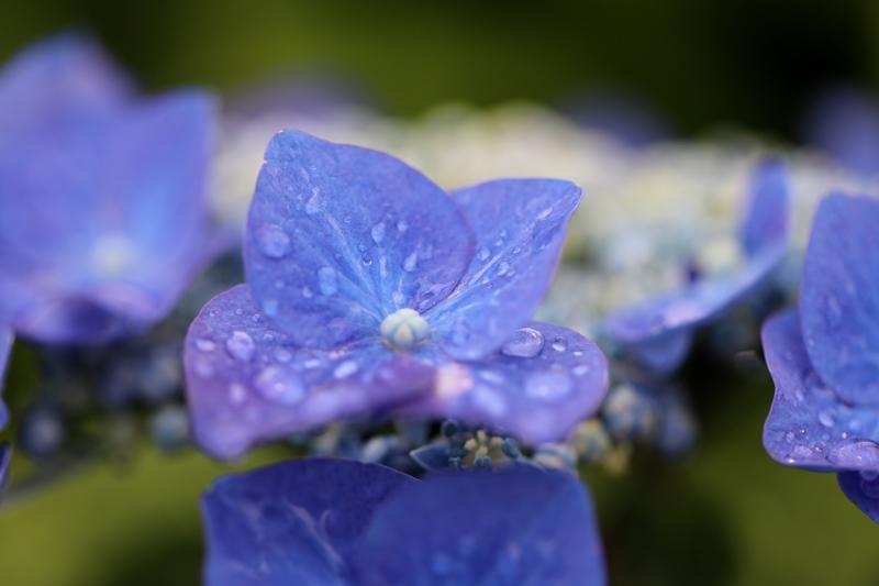 紫陽花3180530