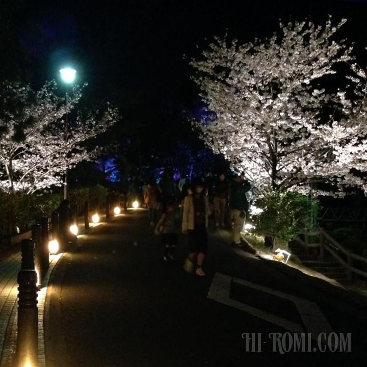 桜 花見 須磨浦公園 敦盛桜 ソメイヨシノ