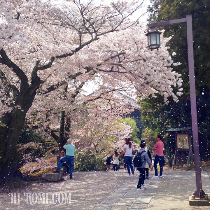 桜舞い散る東大寺大仏殿裏