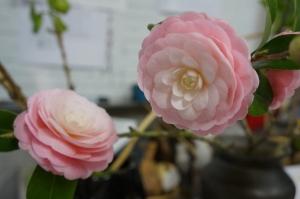 乙女椿開花
