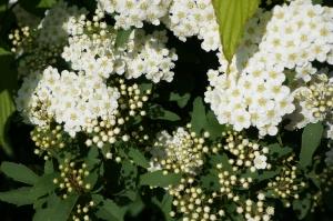 コデマリ開花