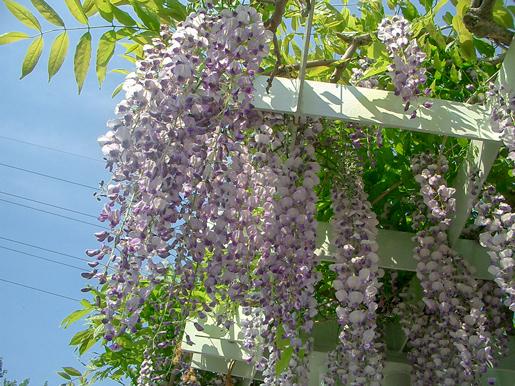 300602_wisteria1.jpg