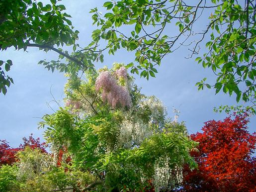 300602_wisteria2.jpg