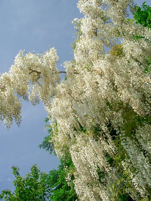 300602_wisteria3.jpg