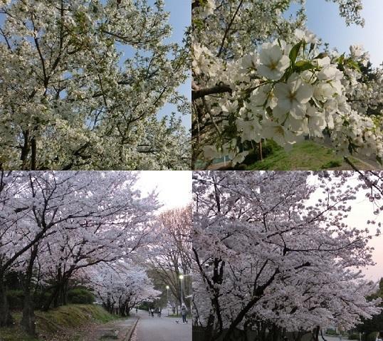 緑地の桜4枚