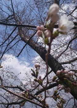 20180404畑の桜