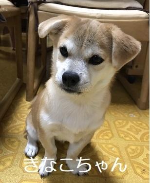 きなこちゃん ペギニーズ&柴犬