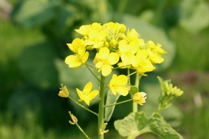菜の花畑2