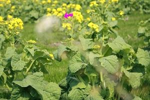 菜の花畑6